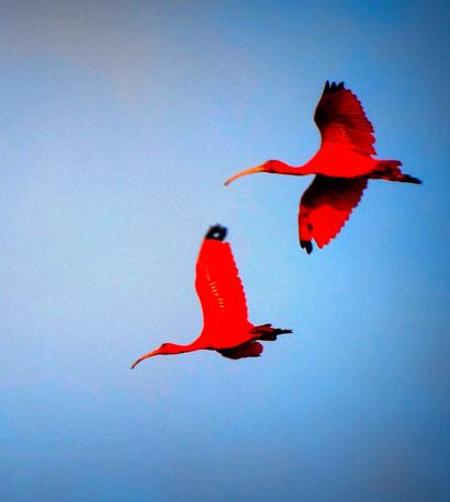 Aves guarás sobrevoando o Delta do Parnaíba